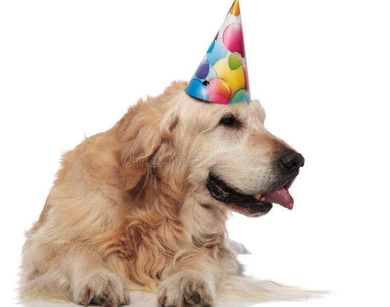 Il golden retriever ansimare che indossa il cappuccio di compleanno guarda per parteggiare immagine stock libera da diritti