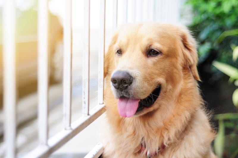 Il golden retriever che guarda ed aspetta il suo padrone per venire a casa immagini stock