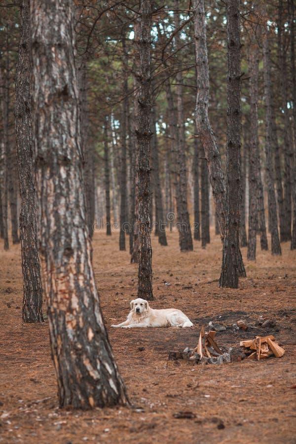 Il golden retriever si trova sull'a terra vicino dove ci sarà un camino nella foresta fotografie stock