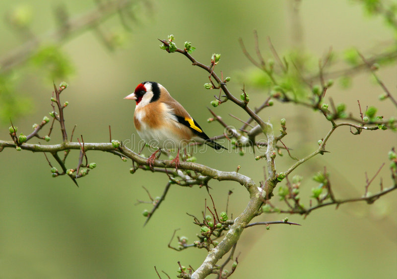Il Goldfinch fotografie stock