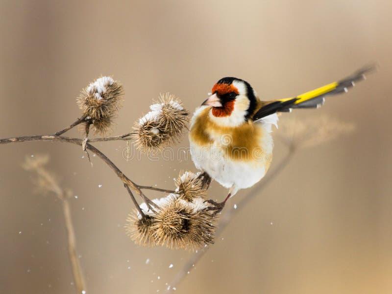 Il Goldfinch europeo passa velocemente sopra il burdock fotografia stock libera da diritti