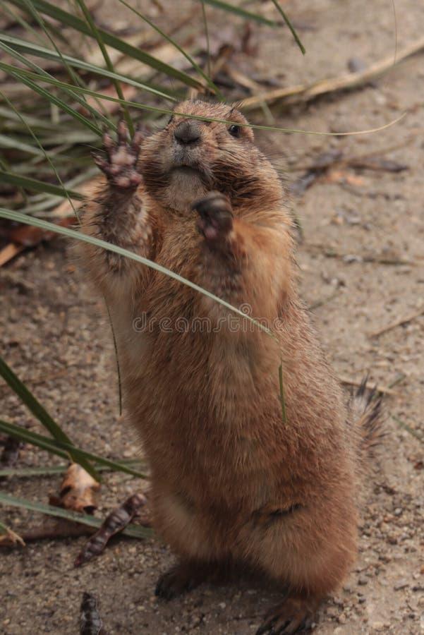 Il gopher del citellus dello spermophilus, scoiattolo a terra fotografia stock libera da diritti