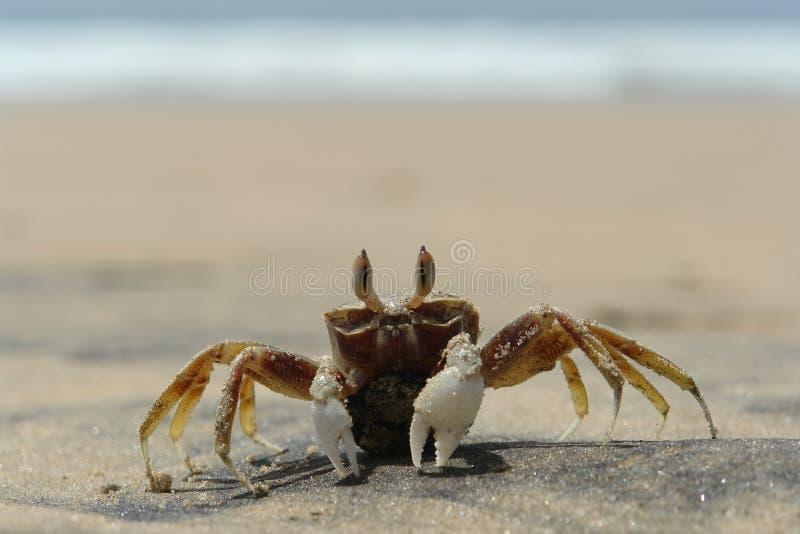 Il granchio del mare immagini stock libere da diritti