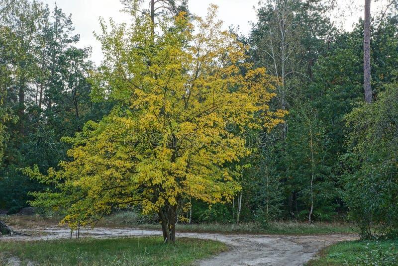 Il grande albero con giallo va dalla strada al bordo della foresta fotografia stock