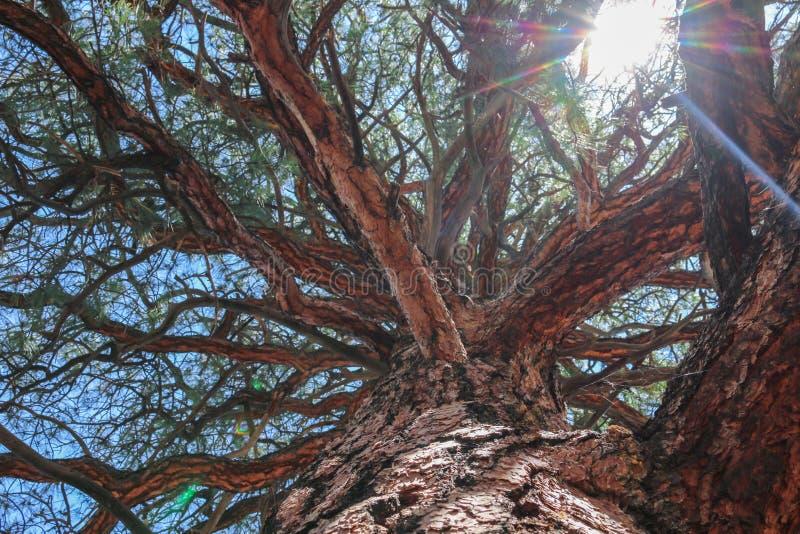 Il grande albero con il ramo ingrandice fotografie stock