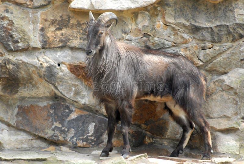 Il grande animale gradisce una capra allo zoo di Berlino in Germania immagine stock