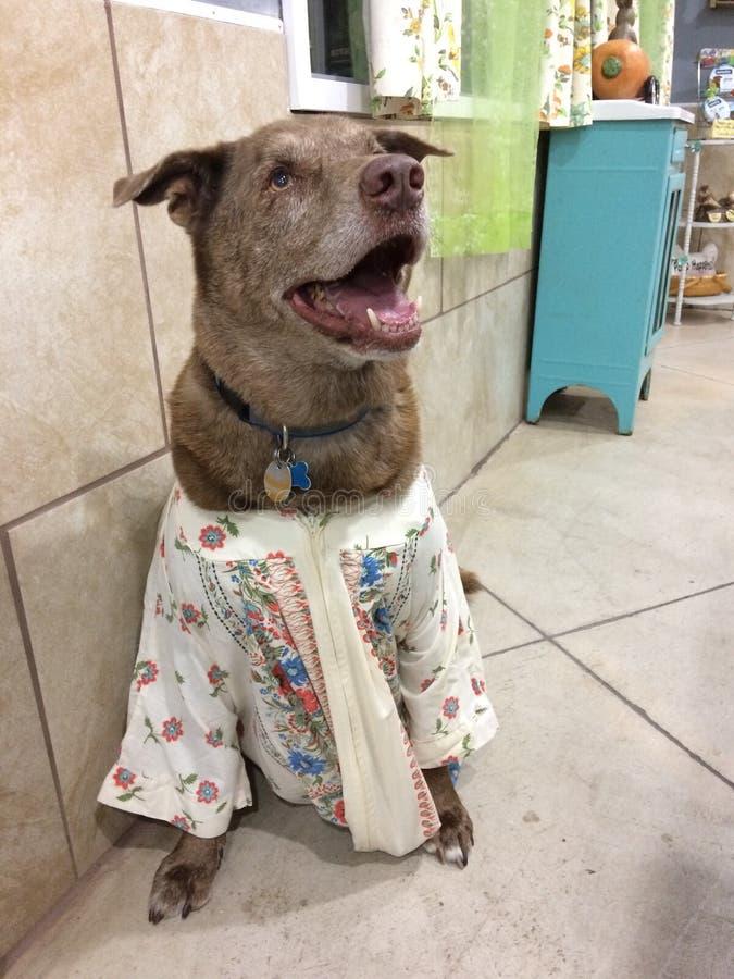 Il grande cane marrone in MU MU si è agghindato il cane divertente in vestiti d'annata felici immagine stock