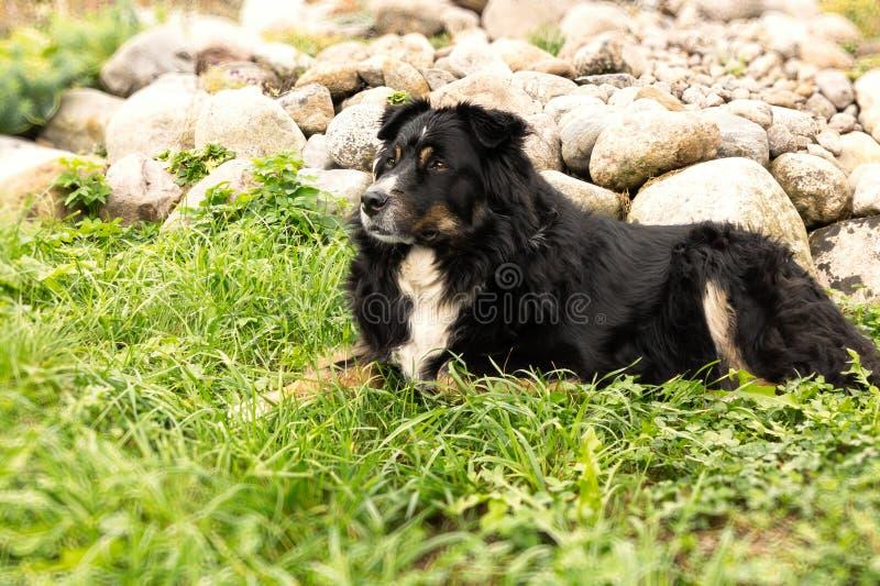 Il grande cane nero da Berner Sennenhund che si trova sull'erba del prato inglese e guarda con attenzione intorno fotografie stock