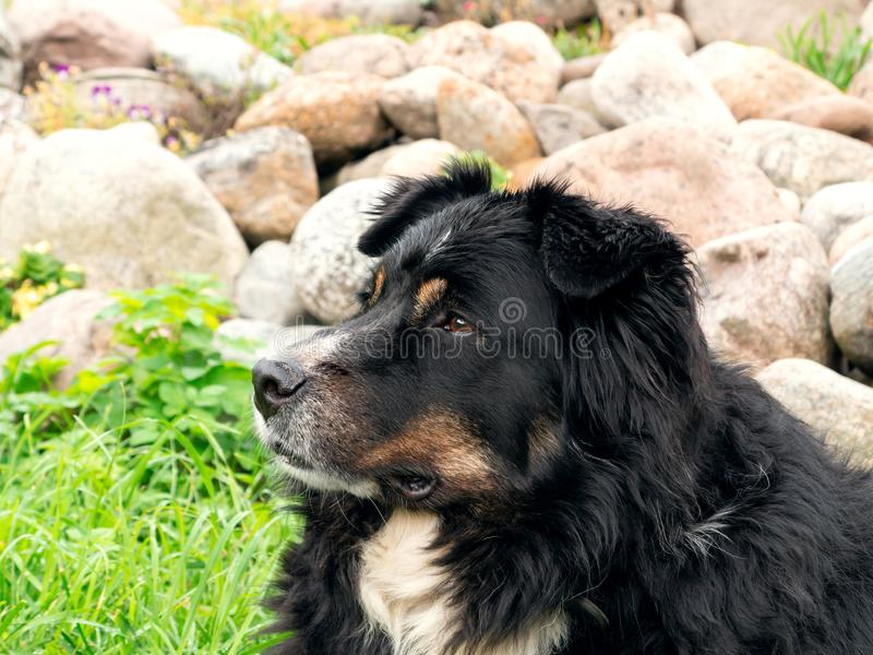 Il grande cane nero da Berner Sennenhund che si trova sull'erba del prato inglese e guarda con attenzione intorno, primo piano fotografie stock