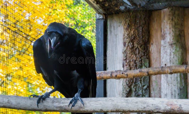 Il grande corvo nero con il suo becco si è aperto, un uccello mitologico terrificante fotografia stock