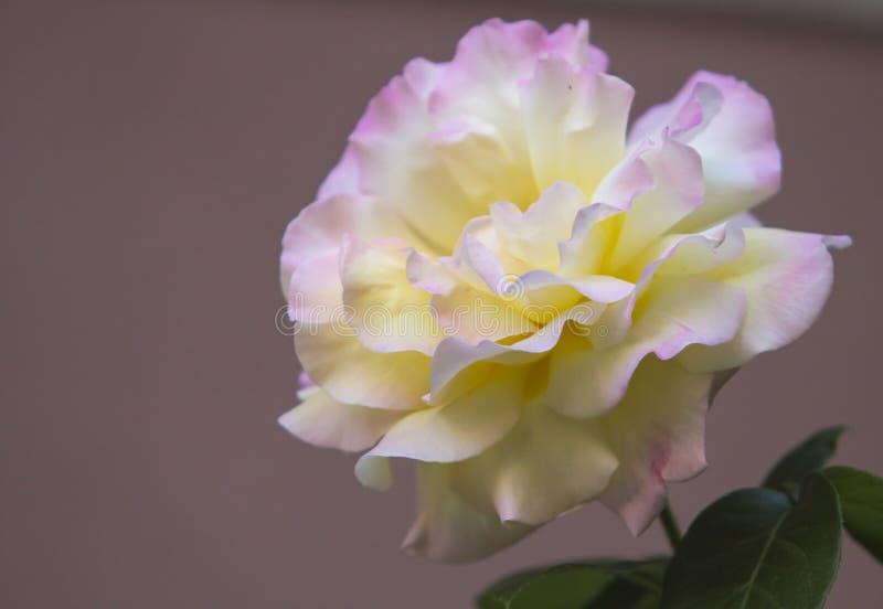 Il grande damasco è aumentato con giallo pallido ed il petalo tinto rosa va su fondo di color salmone scuro fotografie stock libere da diritti
