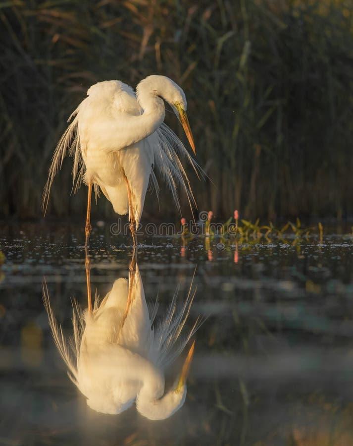 Il grande Egret fotografia stock libera da diritti