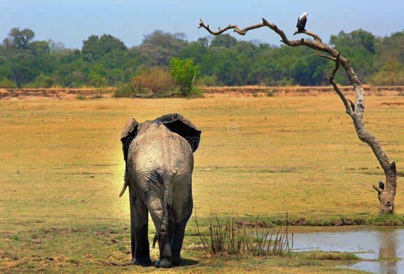 Il grande elefante africano che sta accanto ad un albero con un'aquila di pesce si è appollaiato al parco nazionale del sud super immagini stock libere da diritti