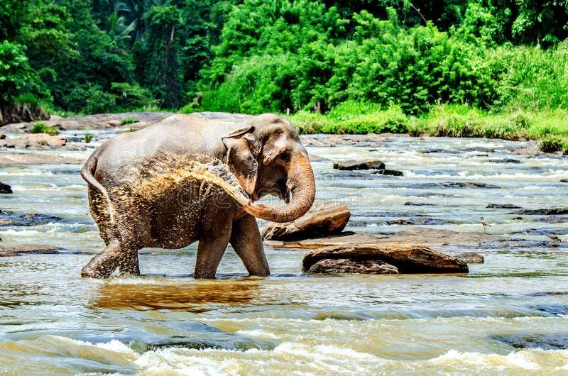 Il grande elefante si è innaffiato con acqua Orfanotrofio dell'elefante di Pinnawala La Sri Lanka fotografia stock libera da diritti