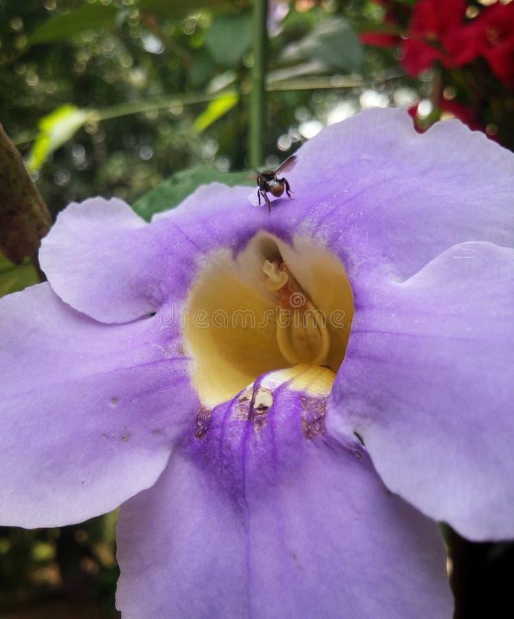 Il grande fiore porpora con il centro giallo e un'ape nera si è appollaiato su  immagine stock libera da diritti