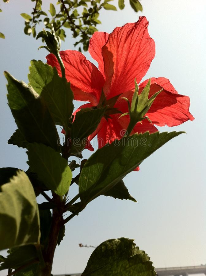 Il grande fiore rosso nell'ambito del sole immagini stock
