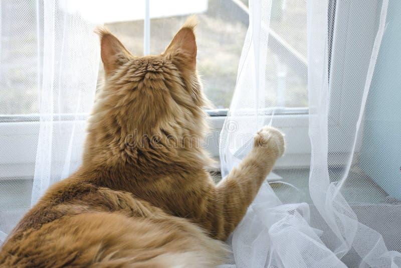 Il grande gatto di procione lavatore di marmo rosso di Maine si trova e gioca con una tenda fotografia stock
