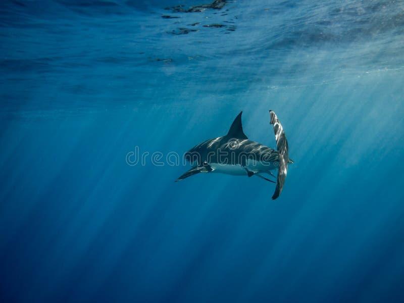 Il grande nuoto di pinna caudale dello squalo bianco sotto il sole rays nel blu immagini stock libere da diritti