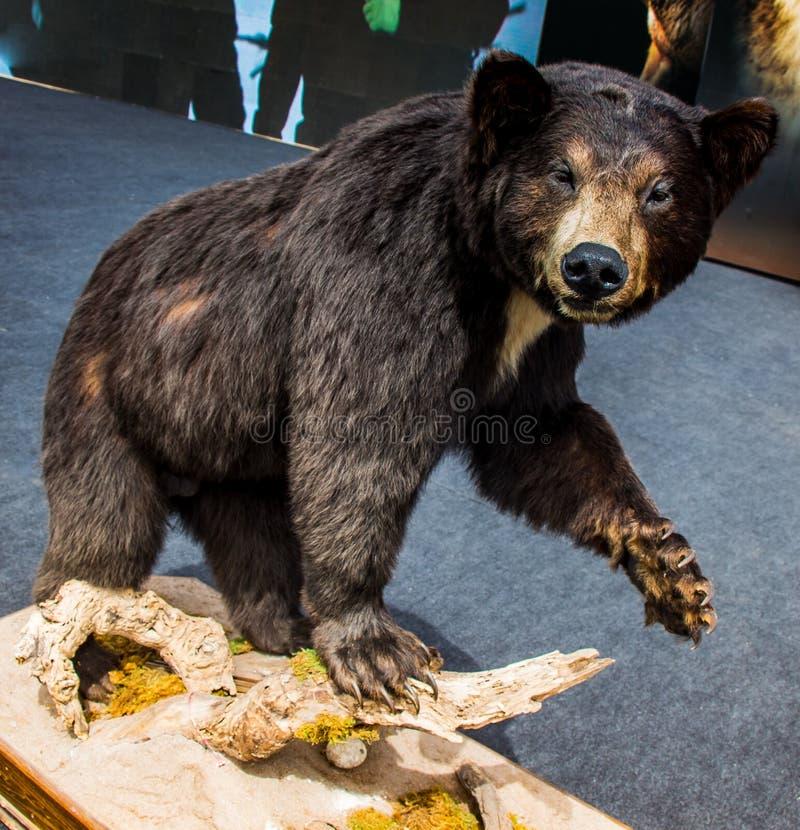 Il grande orso nero farcito come animale selvatico in vista fotografia stock libera da diritti