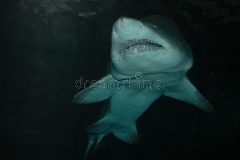 Il grande squalo nuota vicino immagine stock libera da diritti