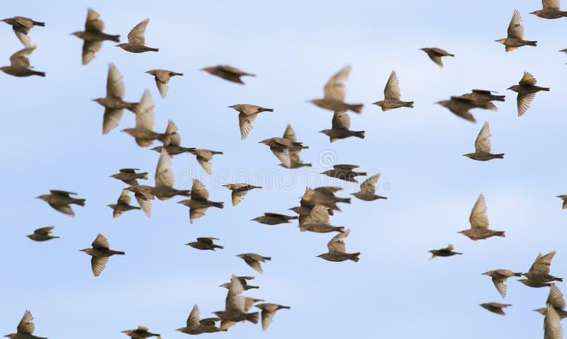 Il grande stormo degli uccelli degli storni rapidamente sta ondeggiando le loro ali e sta volando contro il cielo blu dell'estate fotografia stock