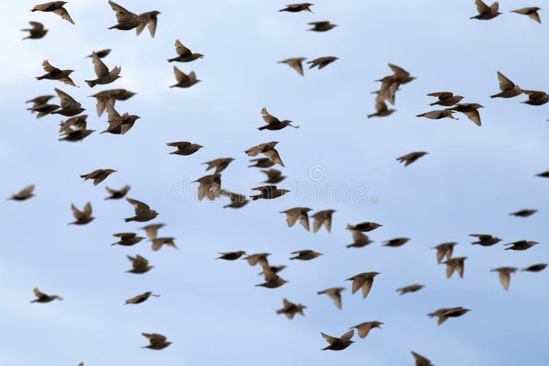 il grande stormo degli uccelli degli storni rapidamente sta ondeggiando le loro ali e sta volando contro il cielo blu dell'estate immagini stock