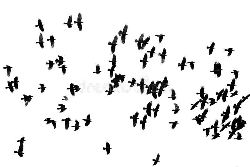 Il grande stormo dei corvi neri che volano sul bianco ha isolato il backgro fotografie stock libere da diritti