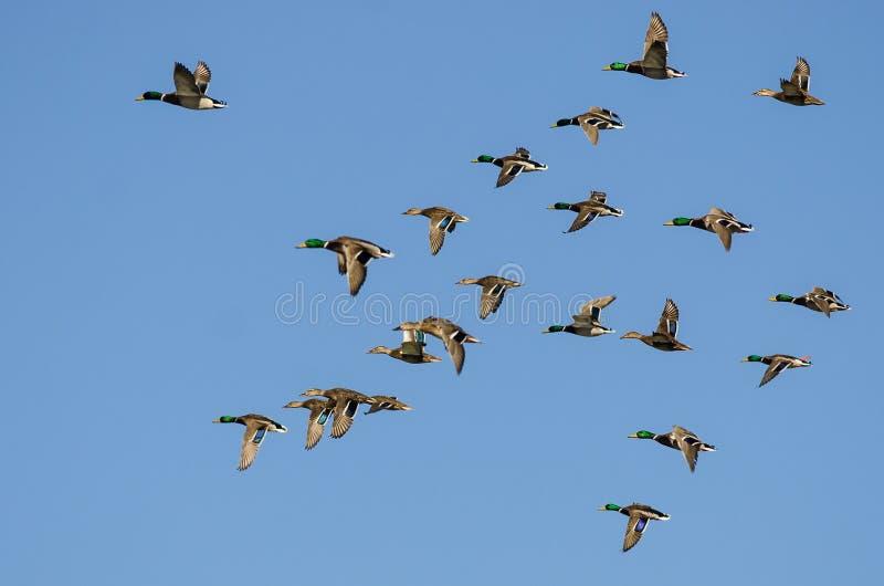 Il grande stormo di Mallard Ducks il volo in un cielo blu immagine stock