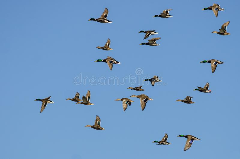 Il grande stormo di Mallard Ducks il volo in un cielo blu fotografia stock libera da diritti