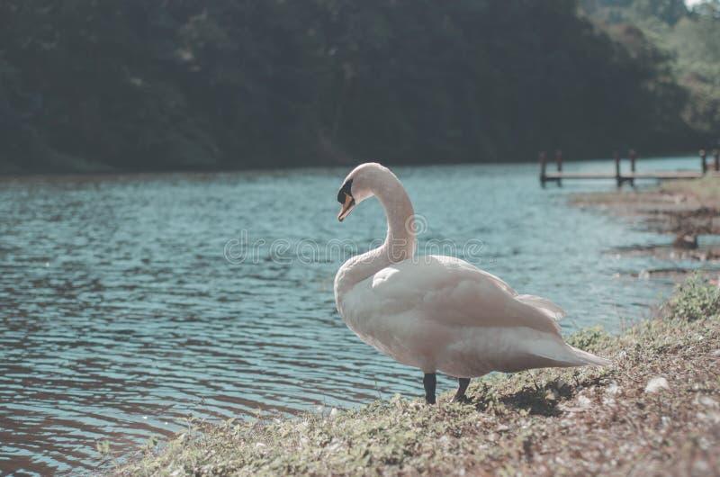 Il grande uccello ha capelli bianchi immagini stock