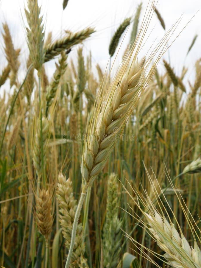 Il grano ed il Wheatear si chiudono su al campo fotografia stock