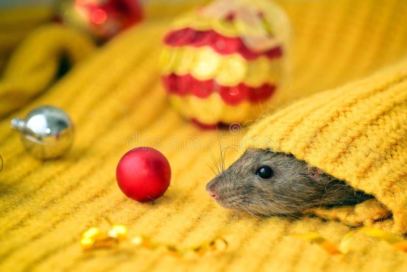 Il grazioso topo decorativo siede nella manica di un maglione arancione a maglia e delle palle di Natale Anno del ratto Simbolo d immagini stock