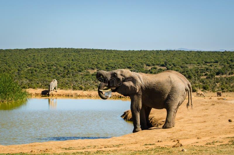 Il gregge degli elefanti di Addo dell'acqua potabile degli elefanti parcheggia, photoghraphy della fauna selvatica del Sudafrica immagini stock
