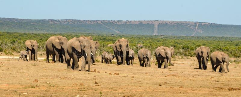 Il gregge degli elefanti di Addo degli elefanti parcheggia, photoghraphy della fauna selvatica del Sudafrica immagine stock libera da diritti