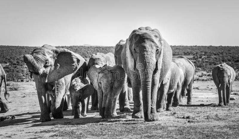 Il gregge degli elefanti di Addo degli elefanti parcheggia, il Sudafrica Rebecca 36 fotografia stock