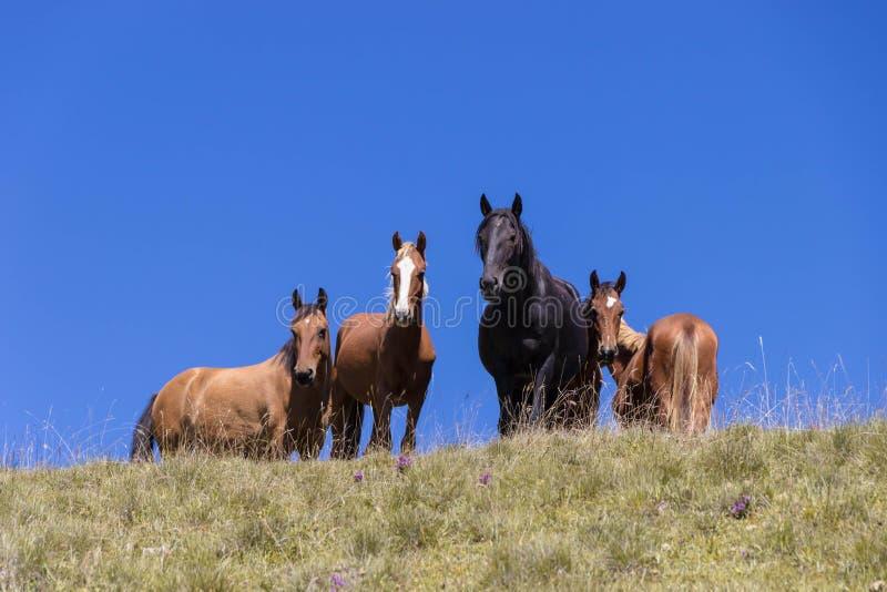 Il gregge dei cavalli selvaggii è pascuto contro le montagne fotografie stock