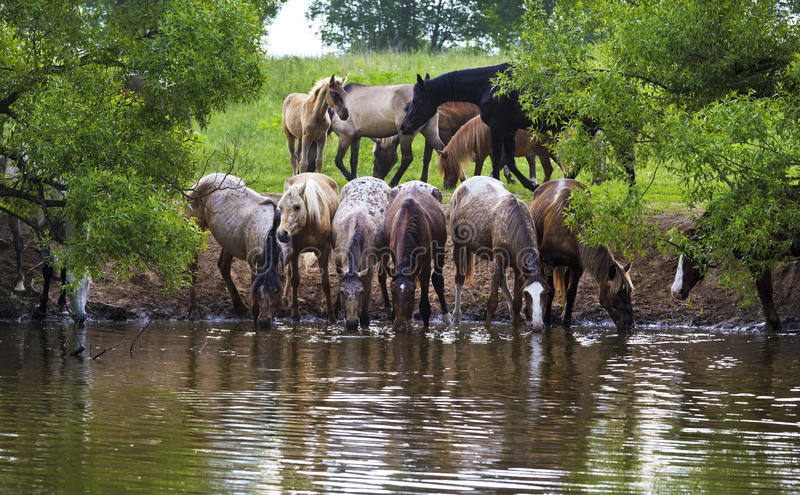 Il gregge dei cavalli sta bevendo fotografia stock libera da diritti