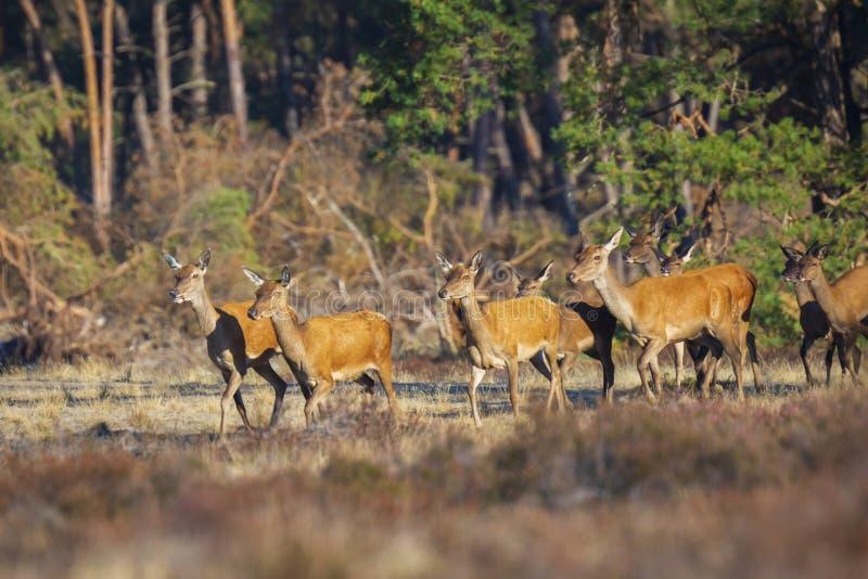 Il gregge dei cervi nobili fa o del cervus elaphus dei hinds che cammina da una f immagine stock