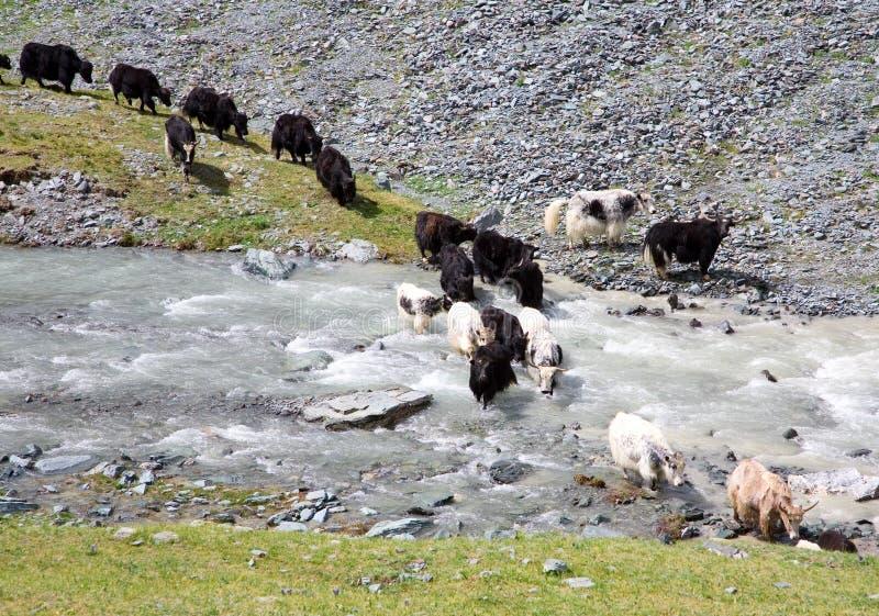 Il gregge dei yaks attraversa il fiume della montagna immagini stock
