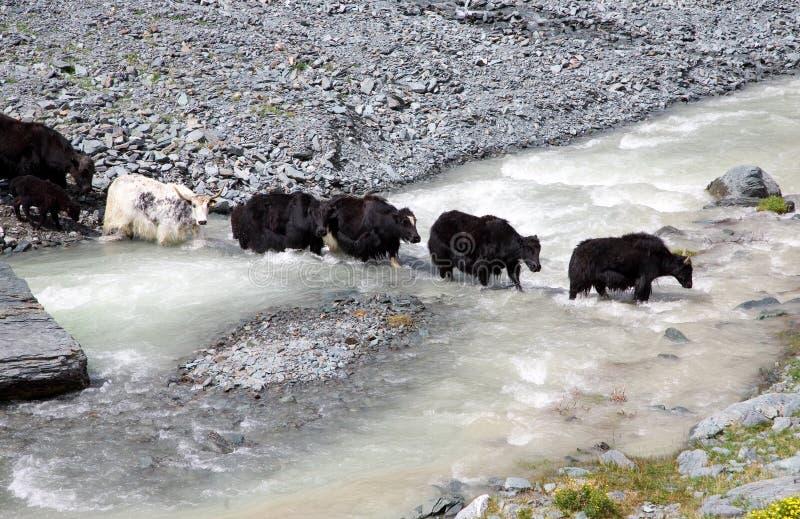 Il gregge dei yaks attraversa il fiume della montagna immagine stock libera da diritti