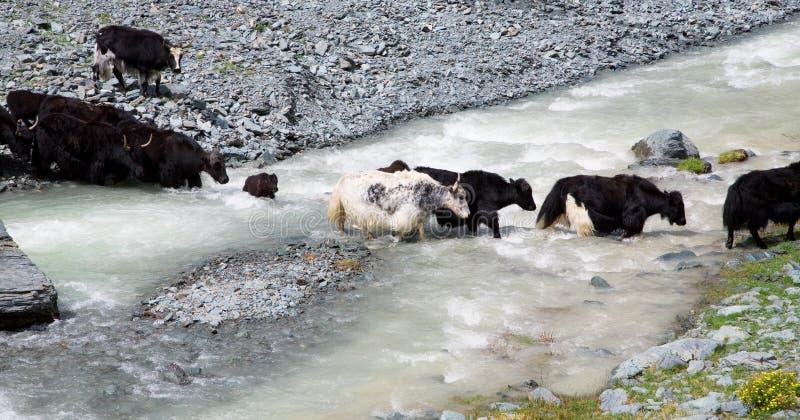 Il gregge dei yaks attraversa il fiume della montagna fotografia stock libera da diritti