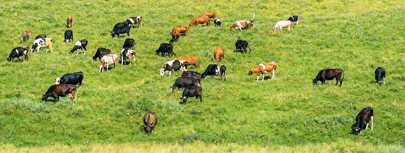 Il gregge delle mucche pasce sul pascolo verde della molla fotografia stock