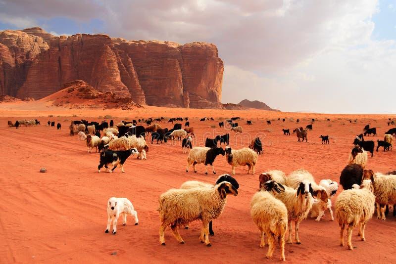 Gregge delle pecore e delle capre beduine immagine stock libera da diritti