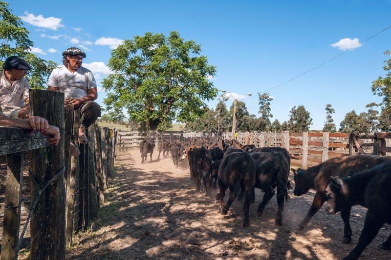Il gregge di giovani toro-vitelli va alle aste immagine stock