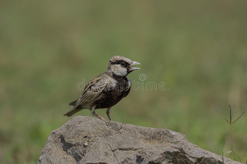 Il griseus incoronato cinereo di Eremopterix dell'allodola del passero si è appollaiato su una roccia fotografia stock