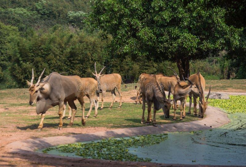 Il gruppo di antilopi sta camminando nel parco di safari immagini stock