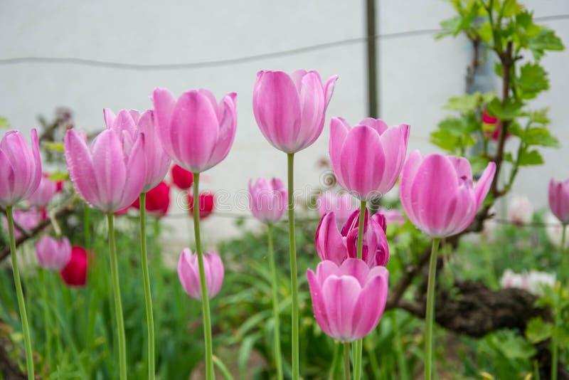 Il gruppo di bei tulipani rosa con fondo verde vago, carta da parati della molla, fiori fondo, tulipani sistema fotografie stock libere da diritti