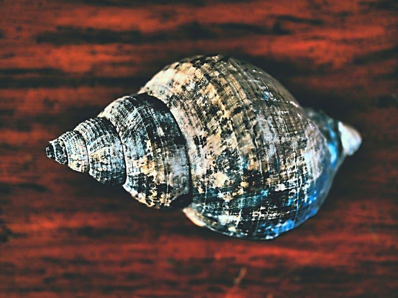 """Il gruppo di conchs che a volte si riferiscono a come """"conchs veri è molluschi marini del gasteropodo nello Strombidae della fami fotografia stock"""