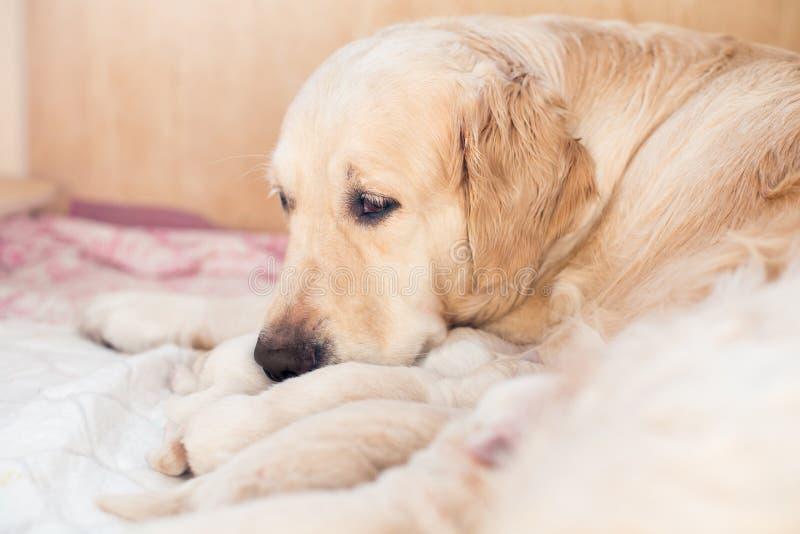 Il gruppo di cuccioli neonati di golden retriever ha latte dalla mamma nella scatola di legno Il cane della mamma prende la cura  fotografia stock libera da diritti