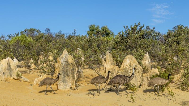 Il gruppo di emù dentro i culmini abbandona, Australia occidentale immagine stock